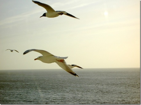 Seagulls flying along side the Teso Ferry