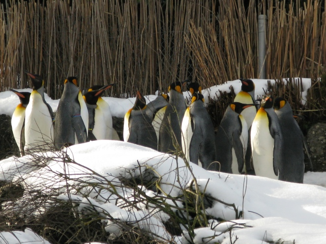 Happy Feet: King Penguins